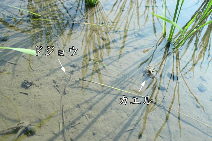 ドジョウやカエルが多く住む田んぼの写真