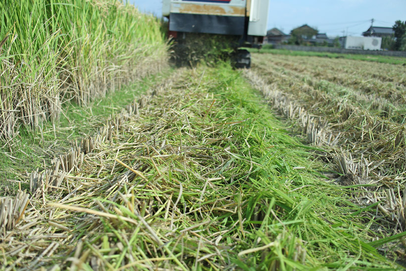 粉砕された自然栽培米の稲わら