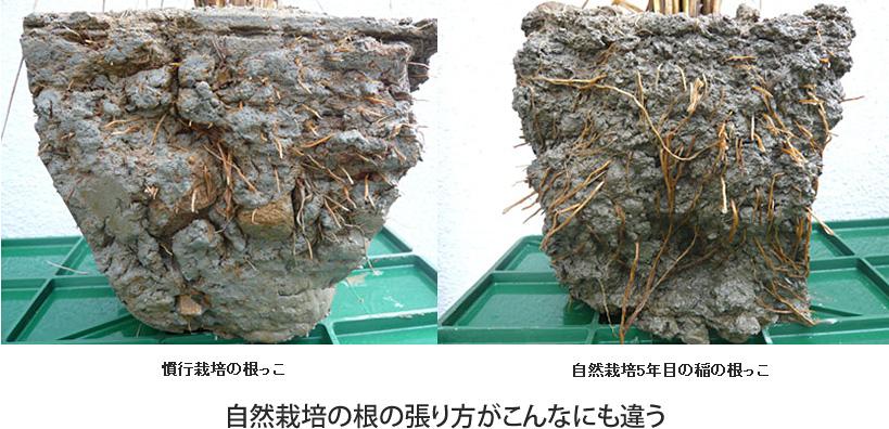 自然栽培米の根っこ