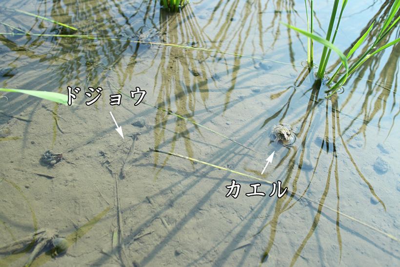 自然栽培米の生物
