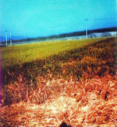 2005年ウンカ大被害