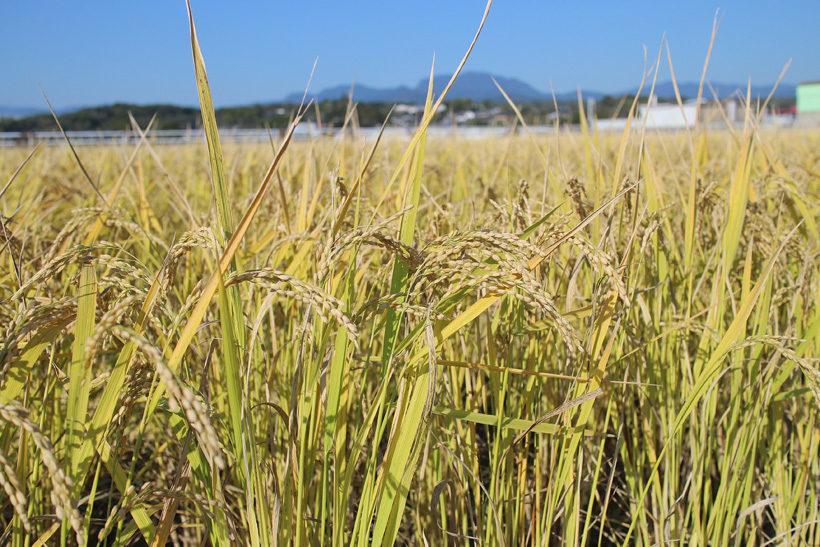 収穫時の稲
