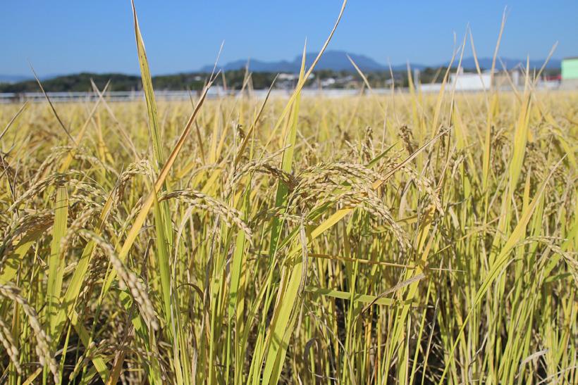 自然栽培米の秋の収獲