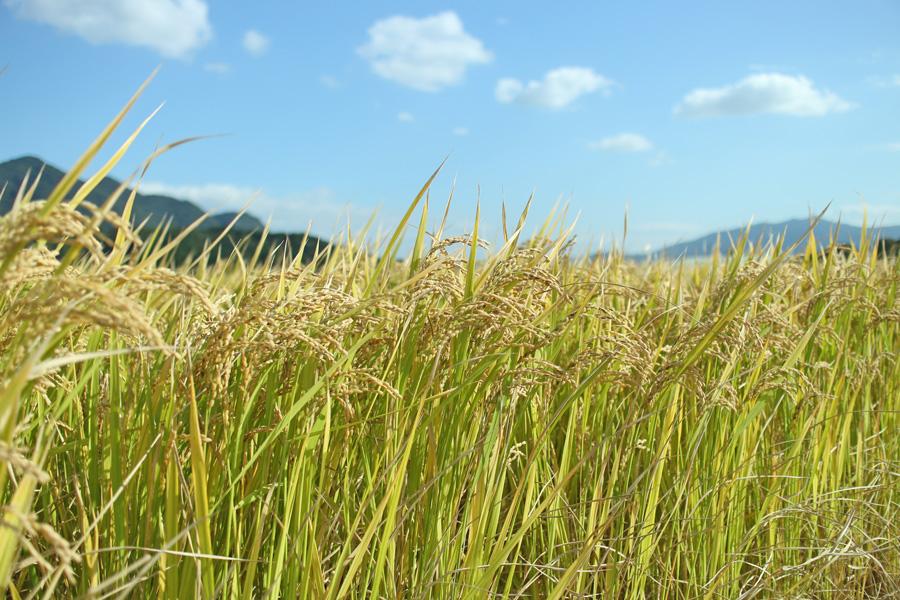 無農薬米とはいったいどのようなお米だろうか?