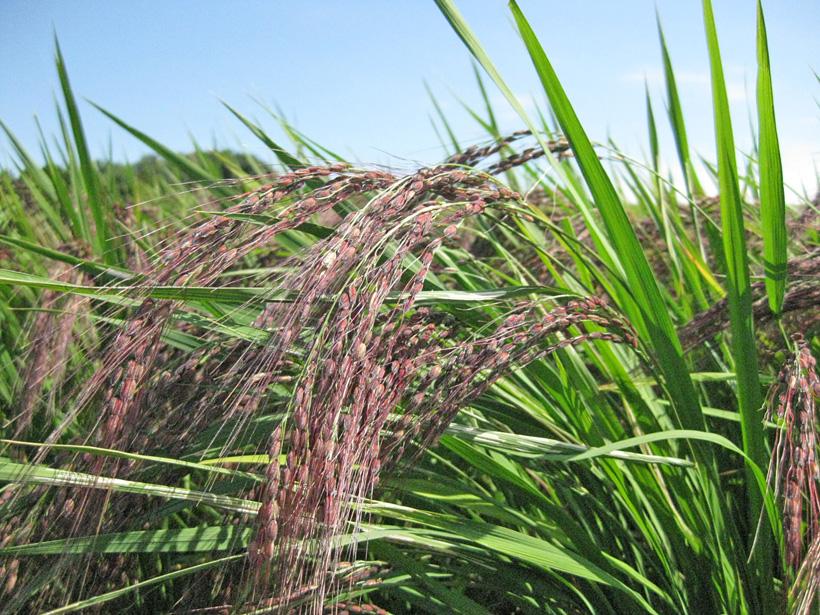 冨田自然栽培赤米