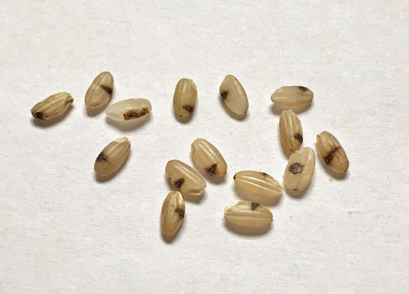 無農薬米の黒いお米は何でしょうか?ー熊本の無農薬・自然栽培のお米ー