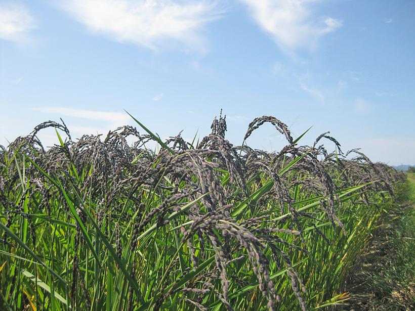 冨田自然栽培緑米