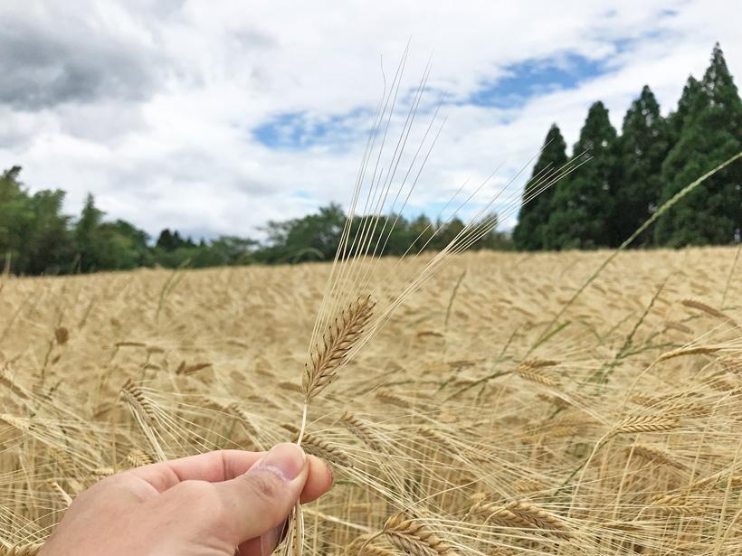 冨田自然栽培大麦