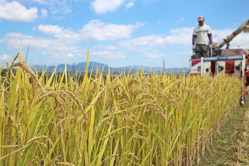 冨田自然栽培米の稲