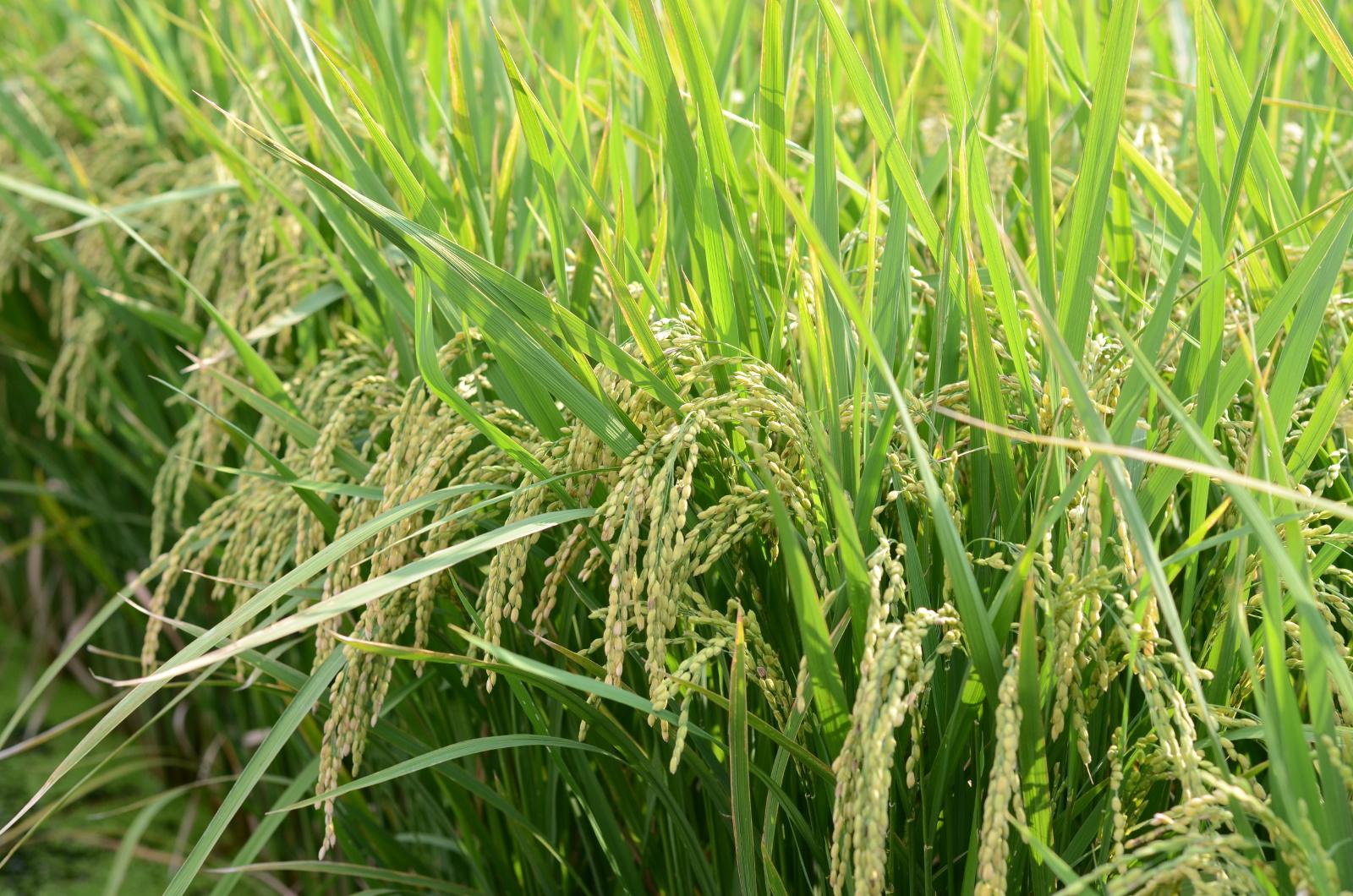 完全無農薬・無肥料の自然栽培米を厳選 4月からの新年度も