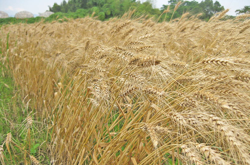 100%無農薬・無肥料! お子様にも安心安全の冨田自然栽培小麦粉