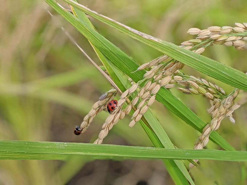 無農薬米にテントウムシ