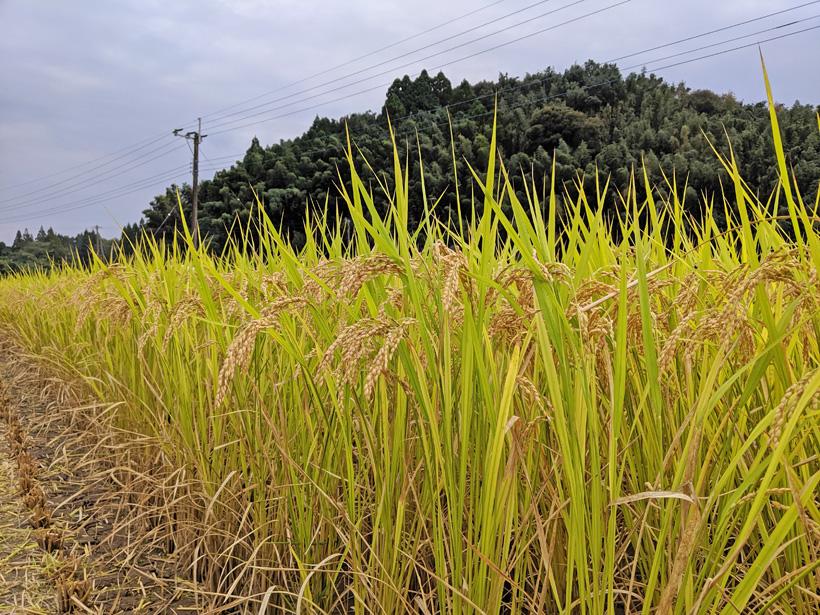 井手上自然栽培米収穫時の稲