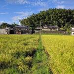 自然栽培の田んぼで育った稲は、とてもたくましい!