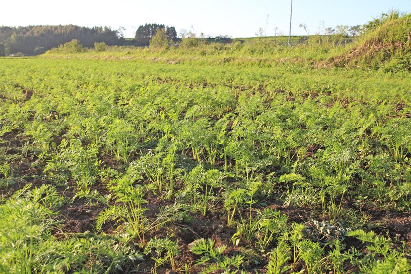 冨田自然栽培米にんじん畑