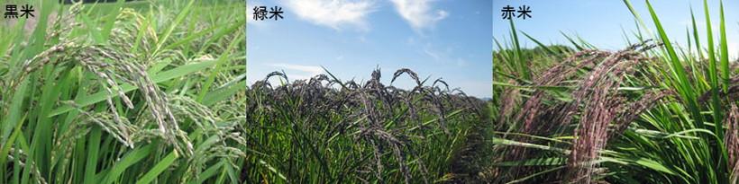 黒米と赤米と緑米