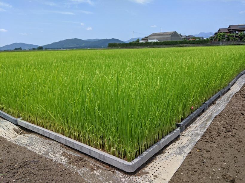 免疫力-自然栽培米と雑穀米と新型コロナウイルス-2/2