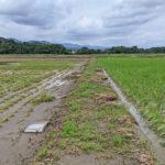 無農薬米がウンカなどの虫や水害に強い理由とは?