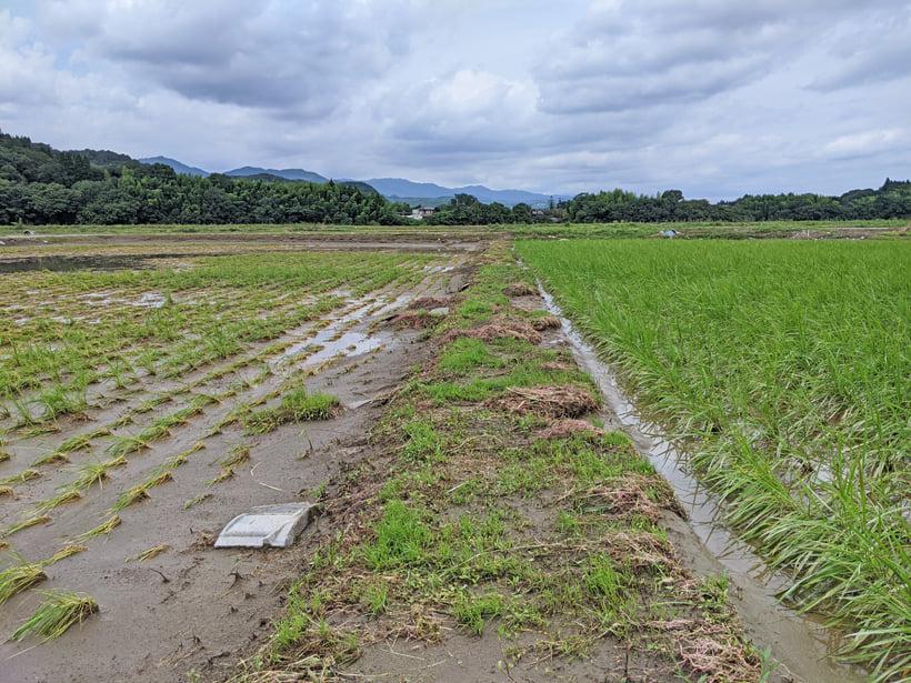 自然栽培の稲