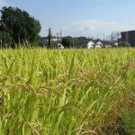 免疫力-自然栽培米と雑穀米と新型コロナウイルス-1/2
