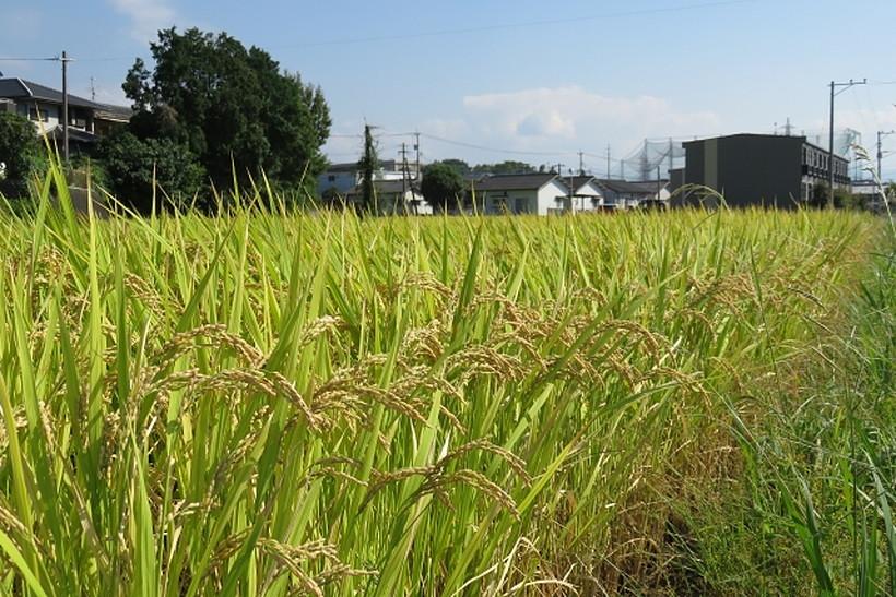 稲刈りが始まっています^^稲刈りからの脱穀、乾燥などの風景