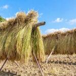 お米の【天日干し】、って何? -自然乾燥と機械乾燥のそれぞれ