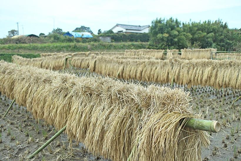 山野自然栽培米天日干し