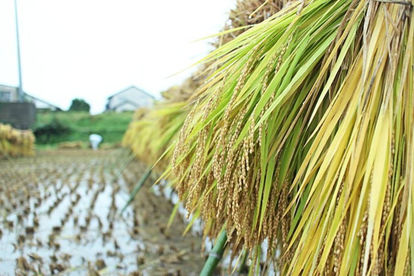 山野自然栽培米