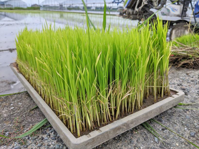 野田自然栽培米の苗