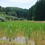 【山の湧き水】で育った【八神米】-菅原陽介さんの自然栽培米