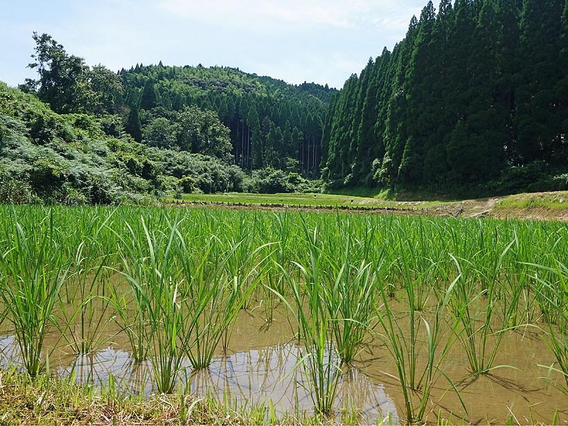 菅原自然栽培米水田
