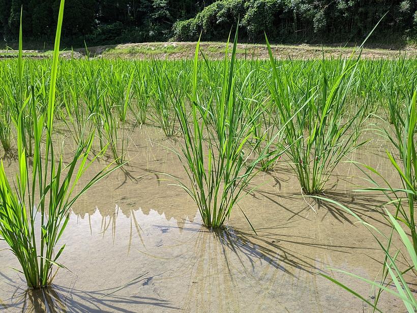 菅原自然栽培米稲一か月後