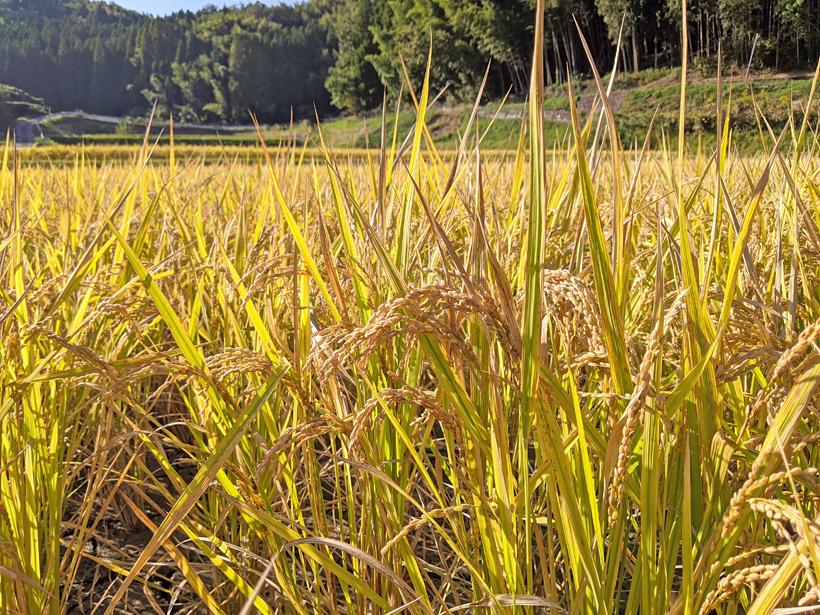 菅原陽介の自然栽培米の稲