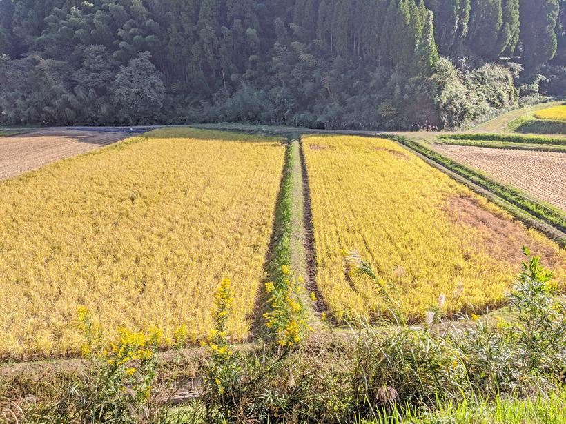 菅原陽介の自然栽培米田んぼ比較