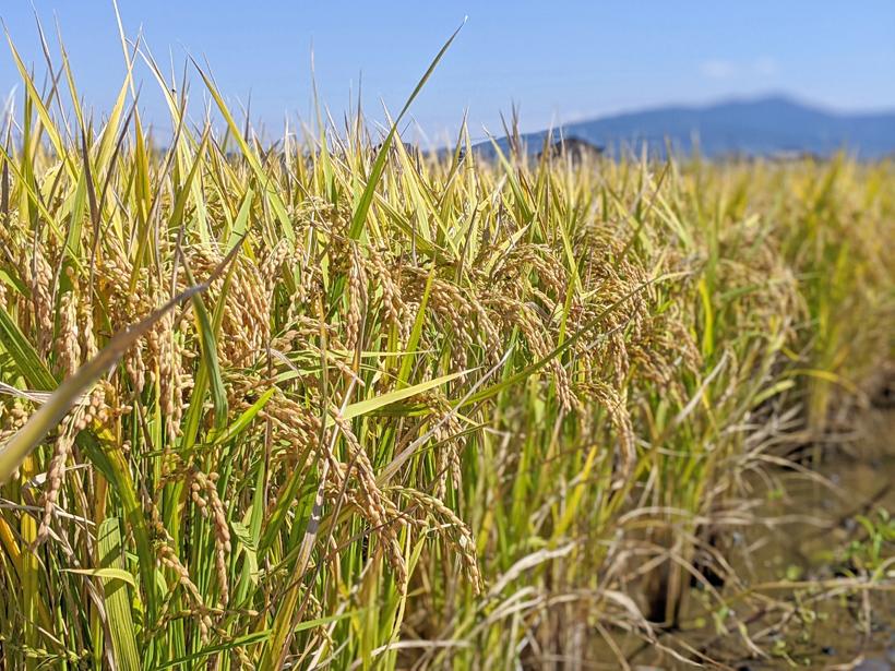 ヒヨクモチの稲