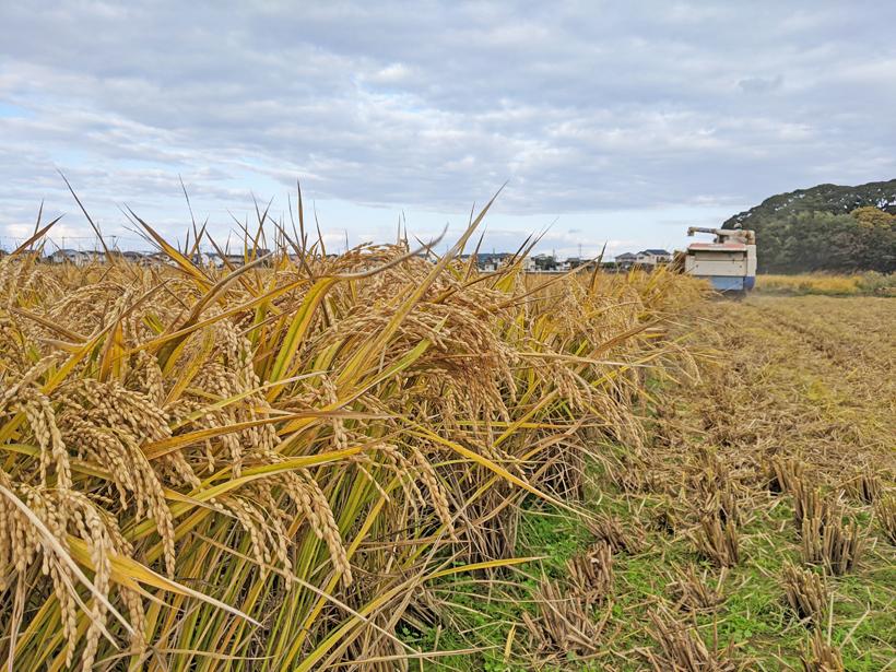 筋田自然栽培米の稲