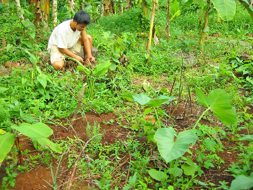 ミクロネシアでの農業