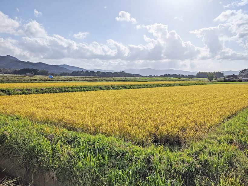 桑原自然栽培米の田んぼ