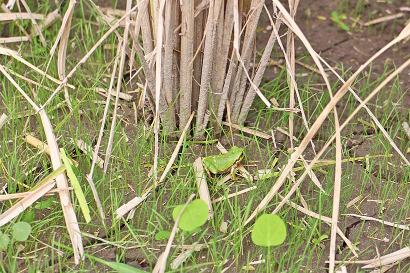 自然栽培水田のカエル