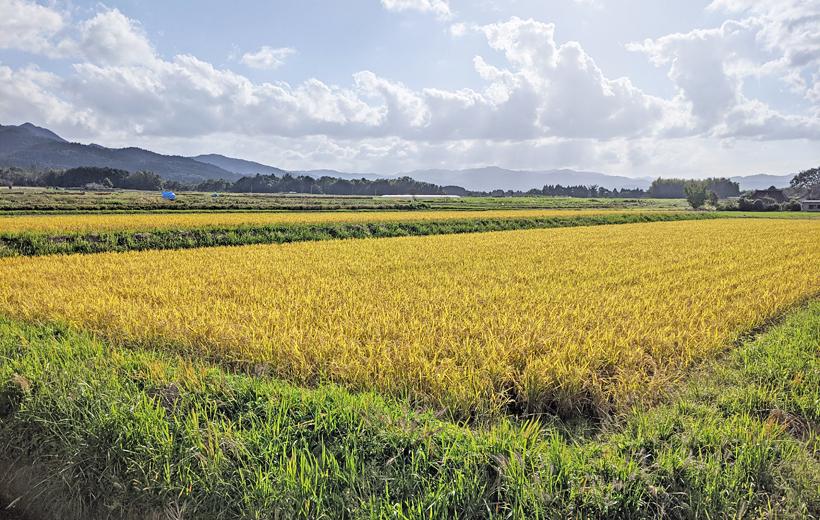 自然栽培水田
