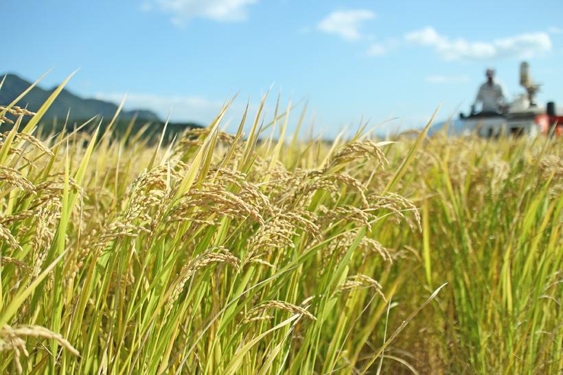 自然栽培米の稲