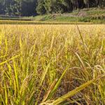 ウンカも避ける⁉自然栽培はじめたら、丈夫で強い稲