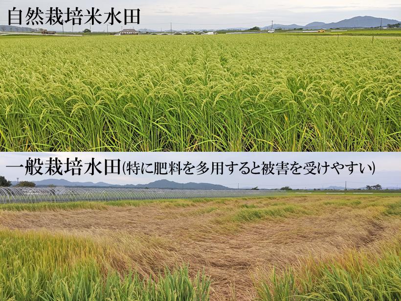 自然栽培水田と慣行栽培水田(特に肥料が多い)の比較