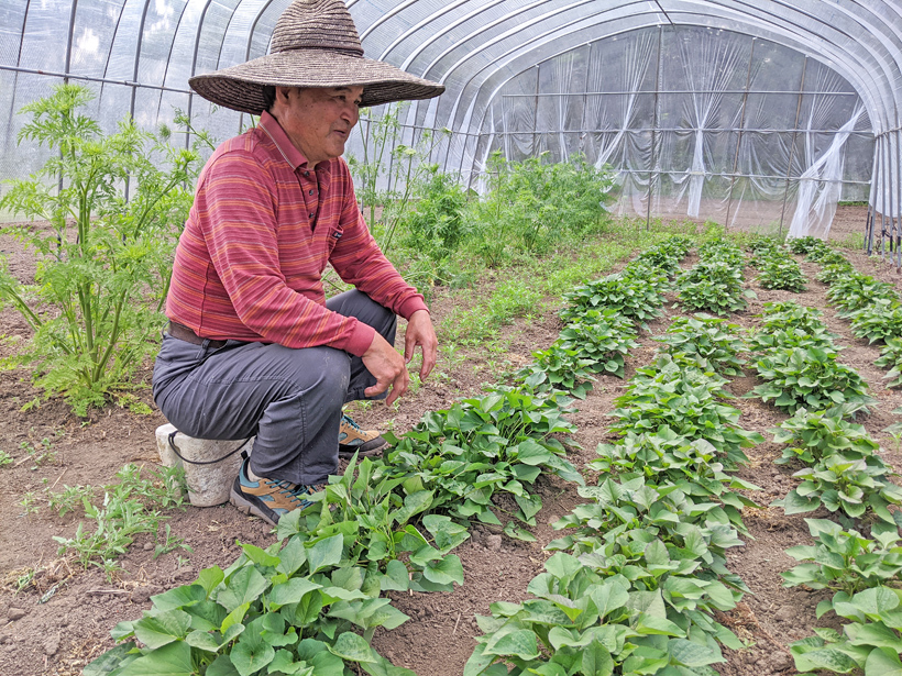 冨田さんとサツマイモ苗
