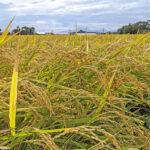 無農薬・無肥料(自然栽培)によりお米の収量はどう変化する?
