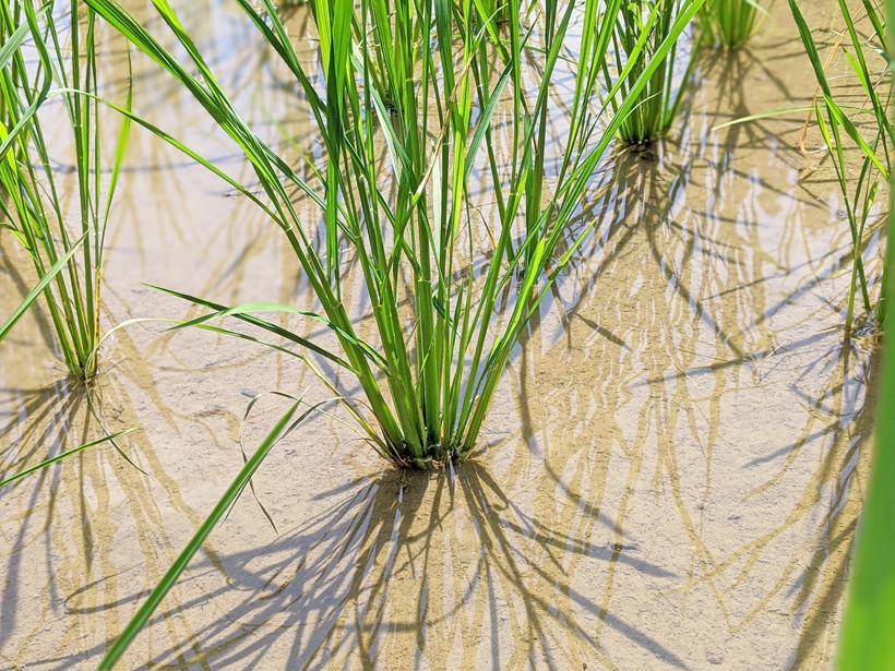 菅原自然栽培米の株間