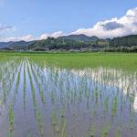 八神米|自然栽培米の田植えのポイント-菅原陽介