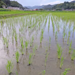 自然栽培米作りでの驚くべき除草方法|熊本県和水町の菅原陽介の八神米