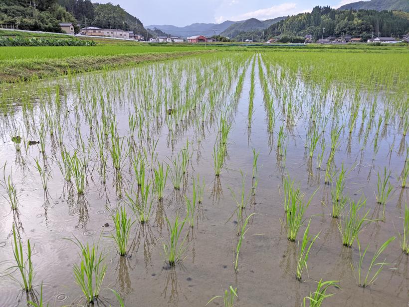 菅原陽介の水田